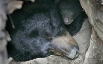 'Nỗi khổ' của động vật sau khi ngủ đông
