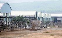 Dân ồ ạt trồng keo trong trại bò liên quan cha con ông Trần Bắc Hà