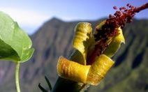 Loài hoa đã tuyệt chủng được phát hiện đầy bất ngờ
