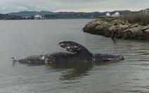Cá voi gầy ốm xương xẩu chết hàng loạt ở Thái Bình Dương