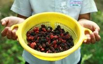 Lạc vào vườn dâu tằm mọng quả ở Hội An