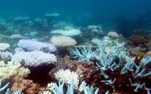 Rạn san hô lớn nhất thế giới 'ngừng sinh sản' vì biến đổi khí hậu