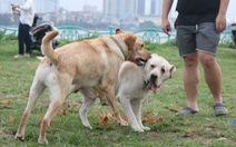 Chó không đeo rọ mõm lang thang khắp phố phường Hà Nội
