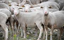 Đăng ký nhập học cho... cừu vì thiếu học sinh
