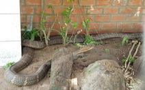 Bắt được cặp rắn hổ mây 'khủng' gần 60kg dưới chân núi Cấm