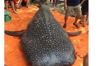 Yêu cầu xử lý vụ xẻ thịt cá nhám voi quý hiếm gần 1 tấn