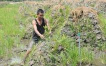 Ồ ạt trồng mít Thái ở đồng bằng sông Cửu Long