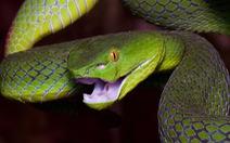 Tìm thuốc giải rắn cắn theo cách tìm kháng thể HIV