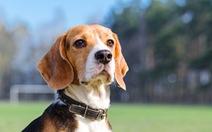 Chó có thể phát hiện ung thư phổi với độ chính xác lên tới 97%