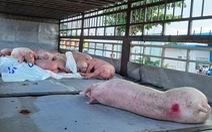 Phó chủ tịch Quảng Nam: Xe chở heo bệnh 'lọt' chốt kiểm dịch có thể do sơ suất