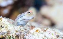 Loài cá nhỏ nhất thế giới 'cứu' những dải san hô