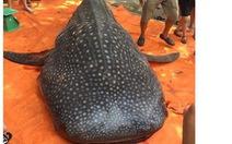 Ngư dân Thanh Hóa xẻ thịt cá diều hoa: 'Không phải cá quý hiếm'