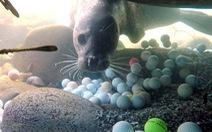 'Hải cẩu không chơi golf'