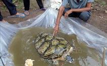 Bất ngờ bắt được rùa biển 34kg trên sông miền Tây