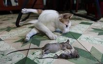 Nhiễm trùng tiêu hóa do... chuột