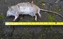 Chuột to khủng chạy đầy đường trong thị trấn ở New Zealand