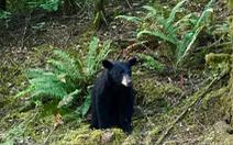Gấu con bị bắn chết vì 'quá thân thiện', hay chụp ảnh selfie với người