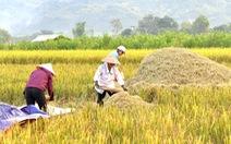 Mùa lúa vàng trên cánh đồng Mường Tấc vùng Tây Bắc