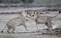 Thót tim ngắm sư tử từ 'xe mui trần' ở Nam Phi