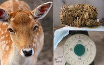 Dân Nhật sốc vì Nai Nara chết do nuốt quá nhiều bọc nhựa