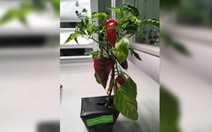 Cây ớt sẽ là cây ăn trái đầu tiên được trồng trong vũ trụ