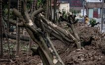 100 cây hoa sữa được di dời đến bãi rác Nam Sơn