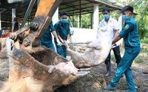 Heo nhiễm dịch tả châu Phi được đốt ở Hóc Môn, chôn ở Củ Chi