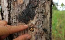 Hàng trăm cây thông tại Lâm Đồng lại bị đầu độc tinh vi