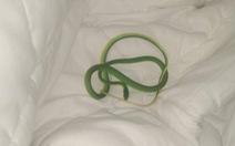 Thức dậy trong khách sạn, thấy rắn lục quấn trên tay