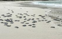Xúc động ngày tình nguyện 'đỡ đẻ' cho rùa biển Côn Đảo