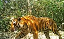 Bangladesh lo tìm 'chồng' cho hổ Bengal