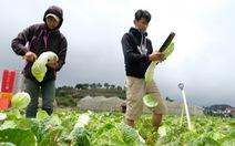 Rau Đà Lạt tăng giá, nguy cơ thiếu hụt vì mưa lũ