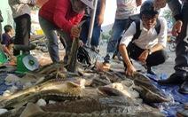 Tranh nhau mua cá tầm 'giải cứu trại cá Lâm Đồng' trên vỉa hè TP.HCM