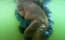 Bò biển con lạc mẹ tội nghiệp của người Thái vừa chết vì rác nhựa