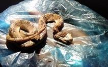 Bị rắn cực độc cắn, chết trong vòng 10 phút
