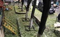 Hàng cây sưa 30 tuổi trong khu tập thể Hà Nội bị bức tử?