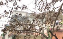 Video: Hàng cây sưa trong khu tập thể ở Hà Nội khô héo bất thường, nghi bị đầu độc