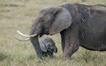 Cấm bán voi châu Phi sang các nước khác