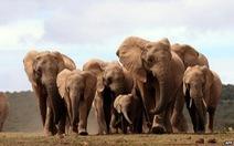 CITES bảo vệ quyền của loài voi hoang dã châu Phi