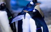 'Vợ chồng' chim cánh cụt đồng tính nhận con nuôi vô tính