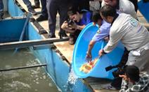 Video: Thả cá Koi Nhật Bản xuống sông Tô Lịch
