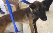 Mỹ phát hiện 'chó đặc nhiệm' của Mỹ gửi Jordan bị bỏ đói trơ xương