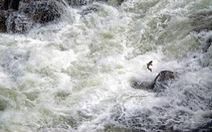 Đập thủy điện sẽ xóa sổ loài cá hồi lớn nhất Thái Bình Dương?