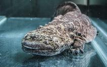 Phát hiện loài động vật lưỡng cư lớn nhất thế giới tại sở thú London