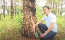 Video: Thêm hàng ngàn cây thông bị đầu độc bằng lỗ khoan và hóa chất
