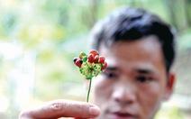 Mùa hái quả sâm Ngọc Linh