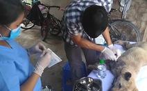 Đàn chó bị 'tạm giữ' được Liên minh bảo vệ chó châu Á chăm sóc