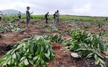 Hàng nghìn cây keo bị nhổ trơ gốc, chính quyền xã nói do 'nhầm tên'