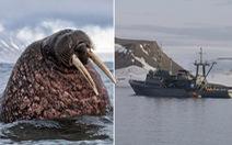 Tàu Hải quân Nga ở Bắc Cực bị hải mã đâm chìm?