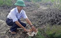 140ha rừng dương che chắn thiên tai giao cho doanh nghiệp bị phá trắng